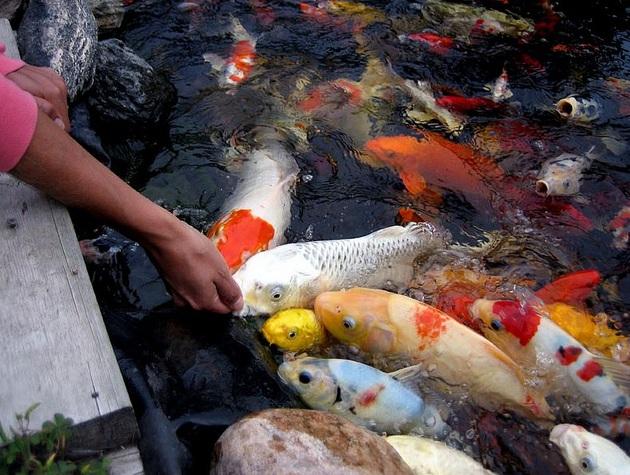 Khi chăm sóc cá koi hãy nhớ đừng cho cá ăn nhiều quá
