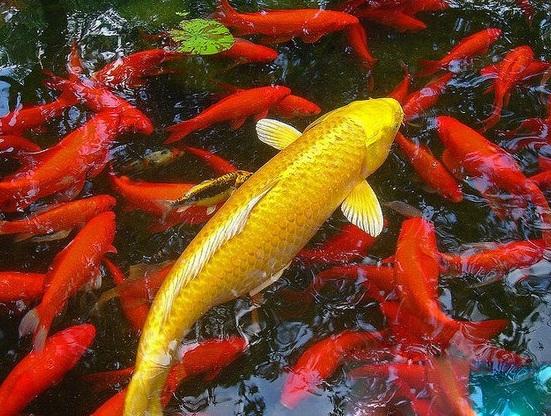 Giống cá koi có màu vàng kim