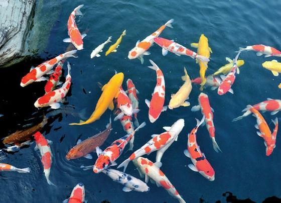Mưa đầu mùa mang đến bệnh tật cho hồ chăm sóc cá koi