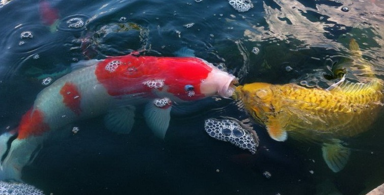 Ăn kiêng cũng là cách chăm sóc cá koi đối phó với mùa mưa