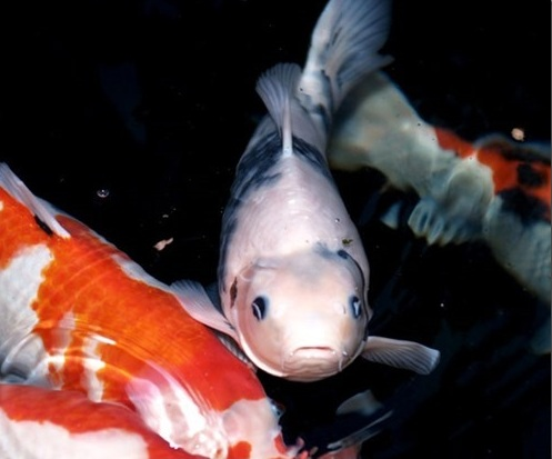 Cá koi hay nổi lên mặt nước tức là cá đang thiếu oxi