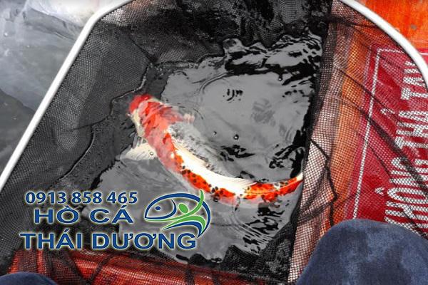 bán cá koi nhật bản đẹp giá rẻ tại tphcm