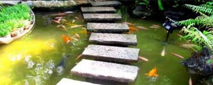 Hồ cá koi bị rêu bám đầy nên không còn độ trong