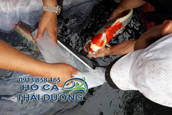 mua cá koi nhật tại tphcm giá rẻ
